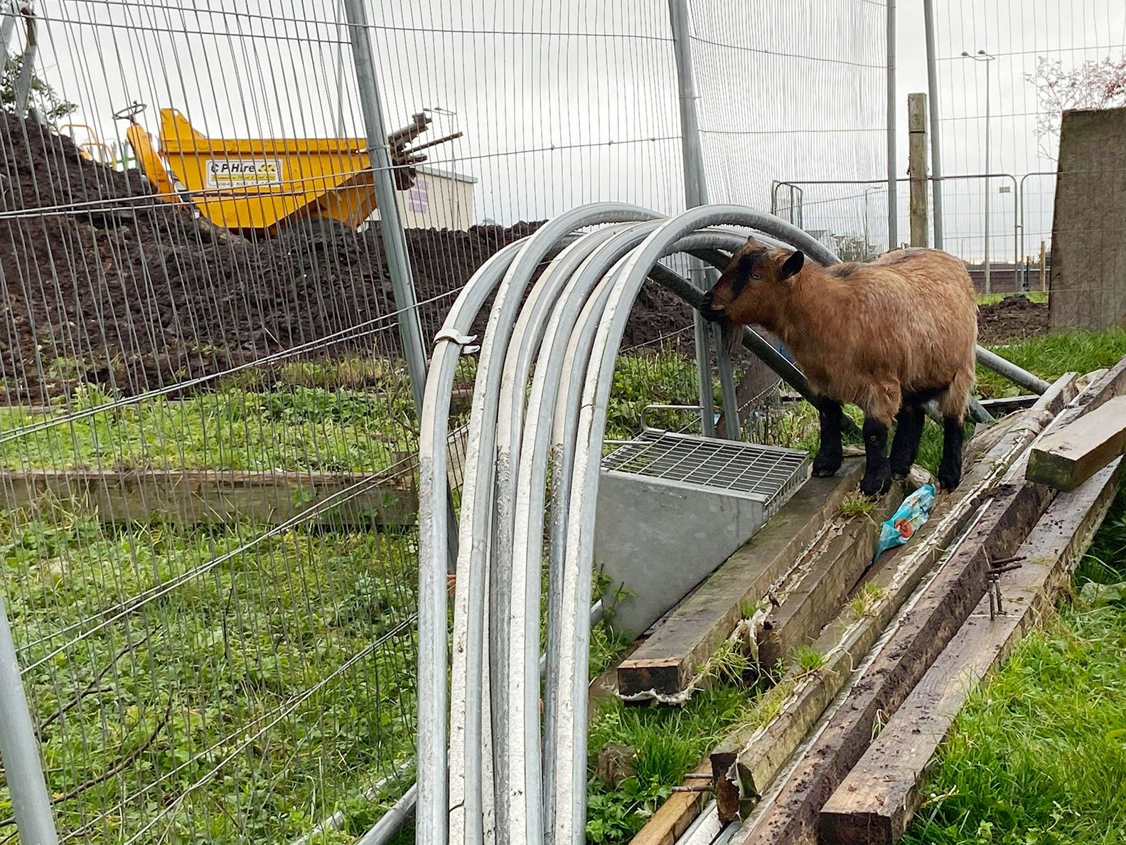 BUILDING SIGHT: A bemused goat looks on as all around work continues on the development of the urban farm near the Bog Meadow