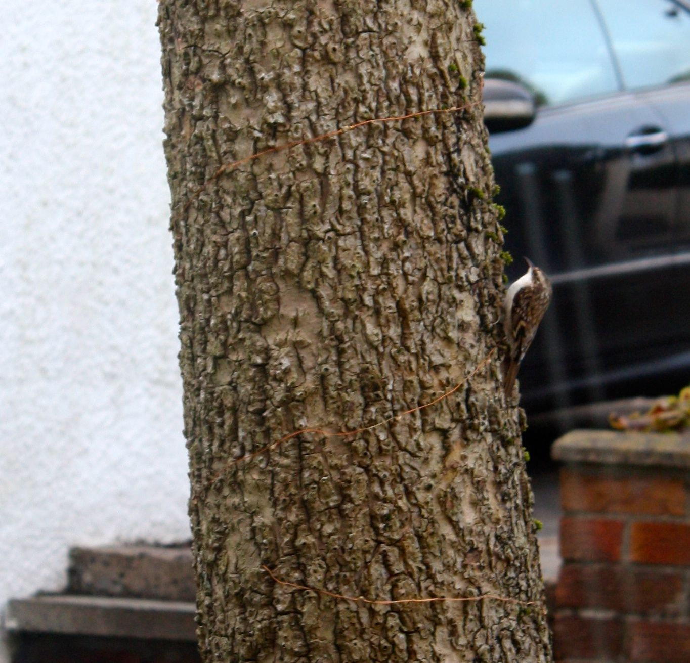 SNAPPED: The treecreeper makes its way up Dúlra's palm tree trunk outside his window