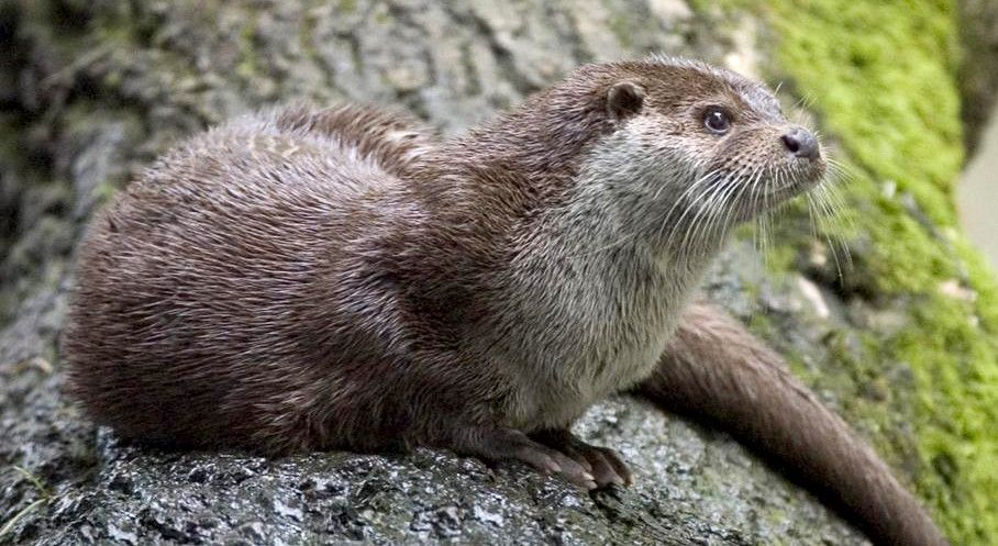 WATER DOG: The otter