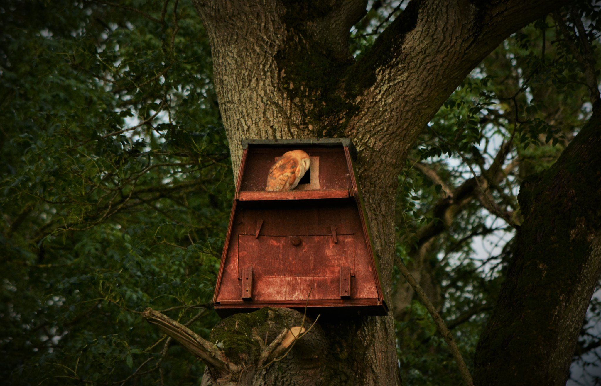 FIRST FLIGHT: The barn owl chick