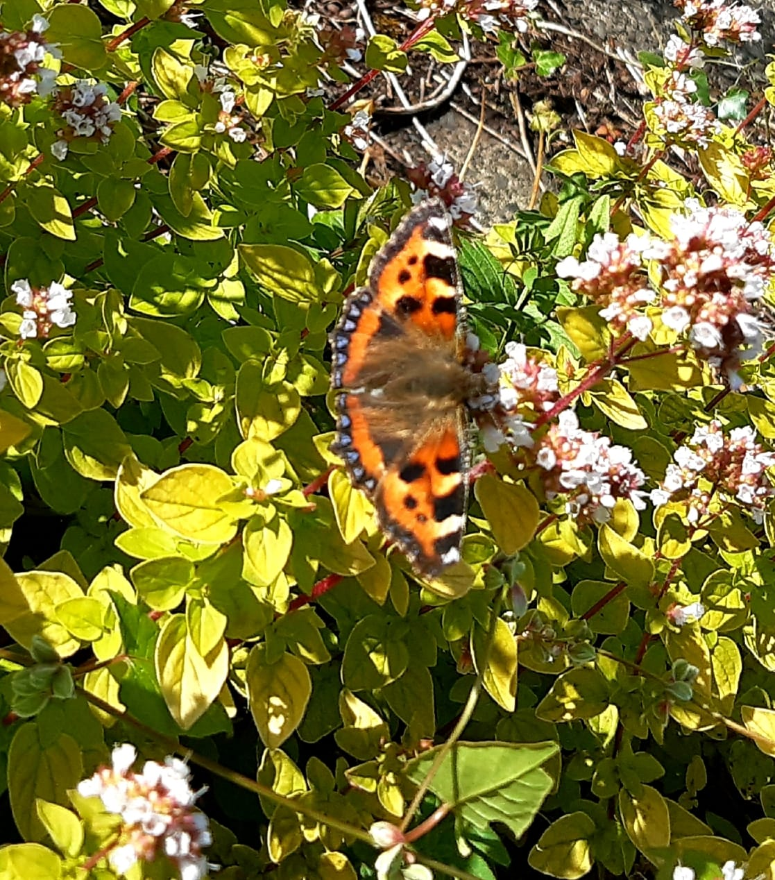 OUR GARDENS ARE ALIVE:Above, the Small Tortoiseshell