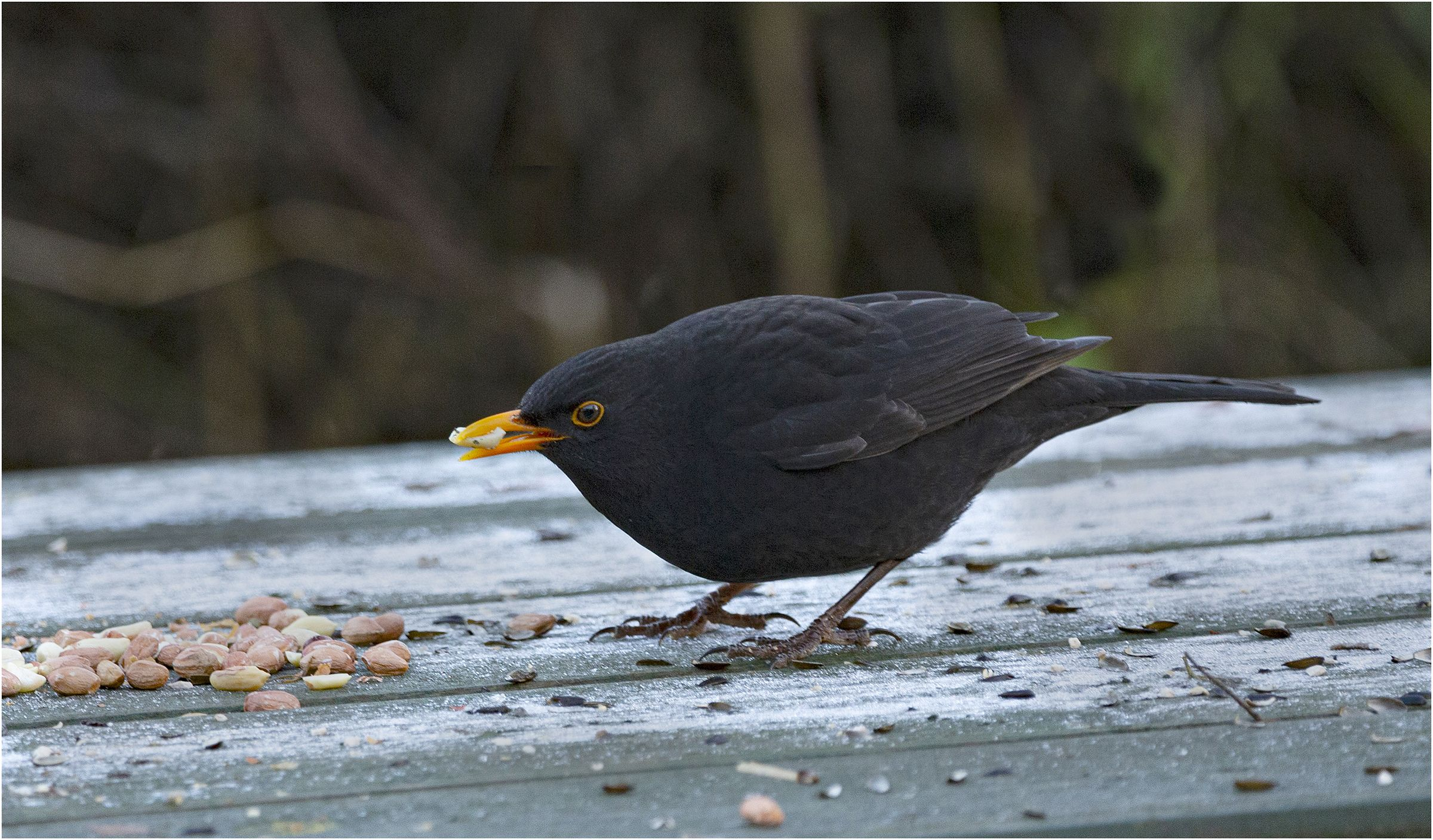 MEAL TIME: A blackbird feasts on peanuts on a Portmore picnic table (pic by Dónal Collins)