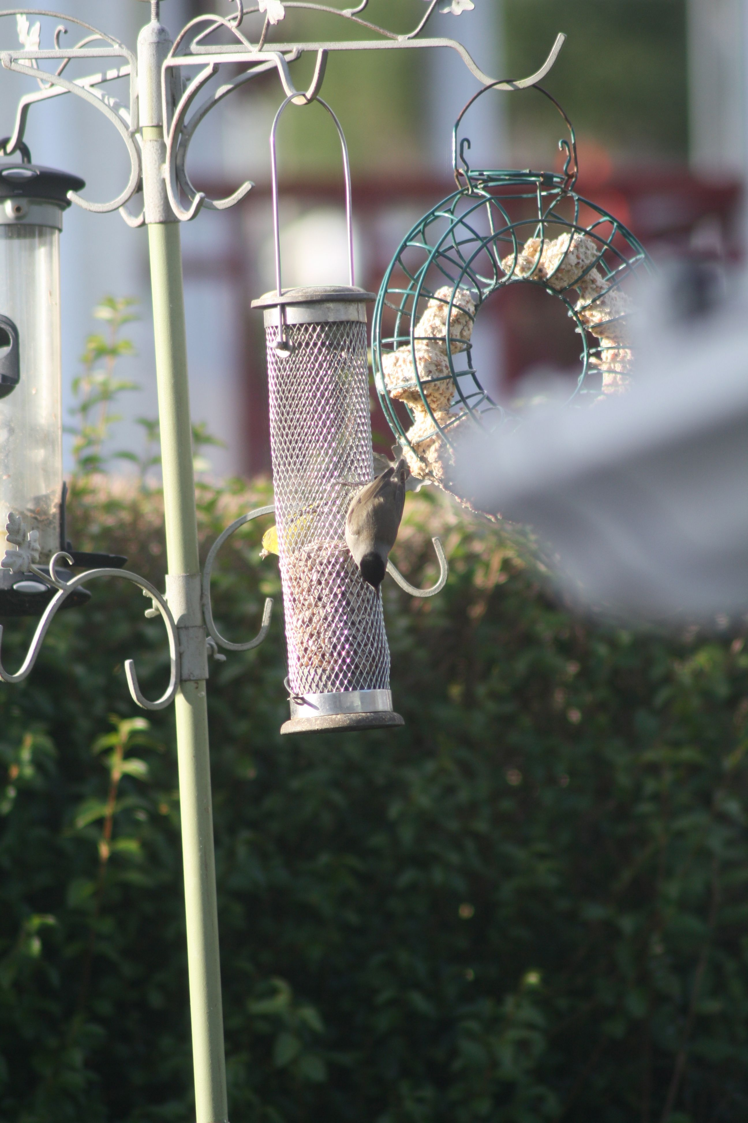 WELCOME VISITORS:A blackcap, above, and a great spotted woodpecker, below, feeding