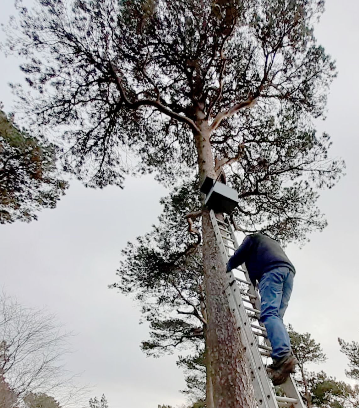 TEAMWORK: Andy scales the ladders to put up the kestrel nesting box on a Cave Hill pine tree