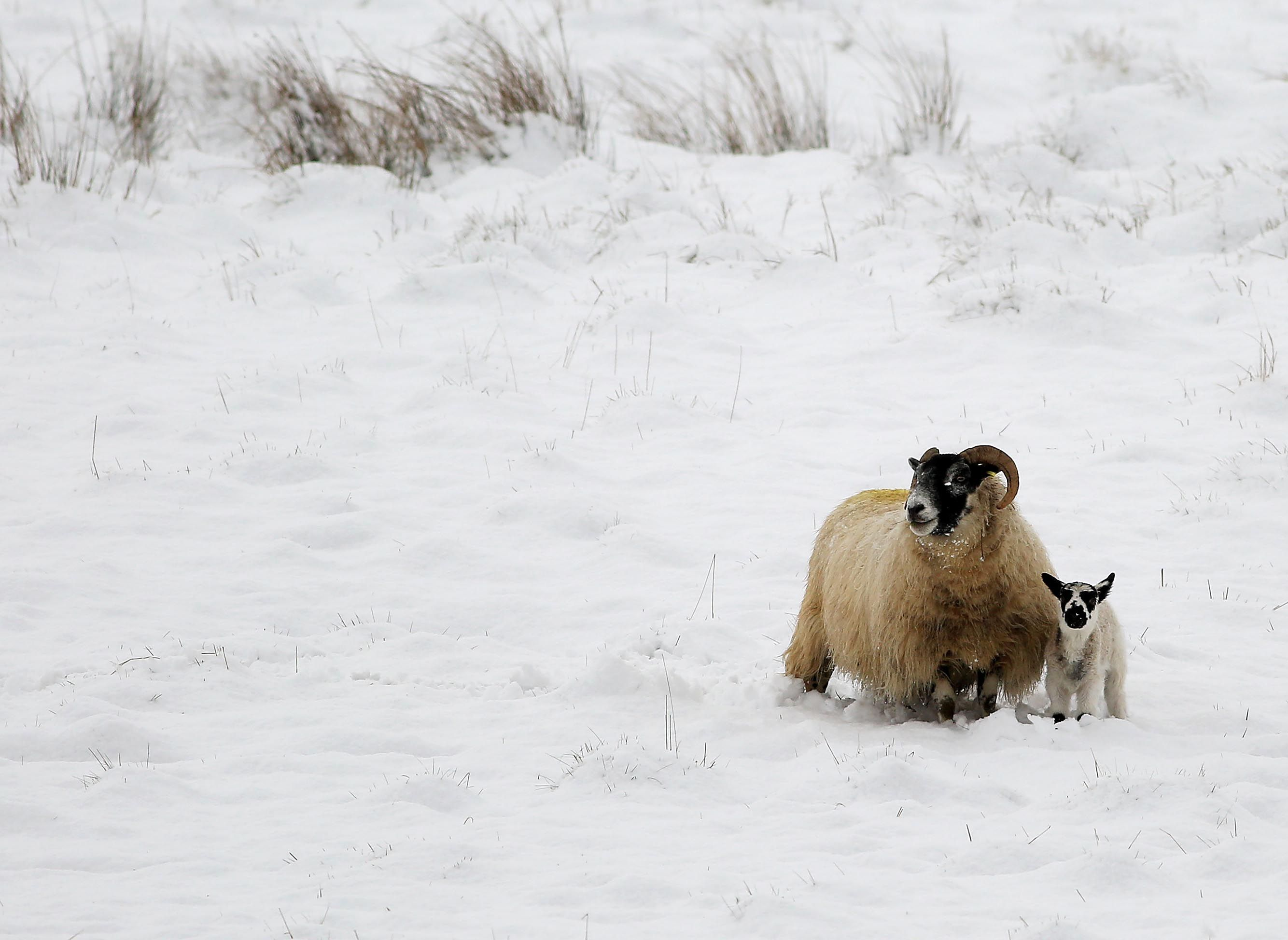 NICE TO MEET EWE: Belfast Hills this morning as a lamb enjoys the warmth and protection of its mother.
