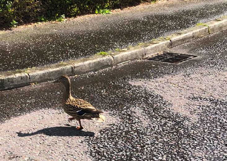 PET RESCUE: It was a case of all hands to the pump to help save this little duck family on Cavehill Road on Saturday afternoon