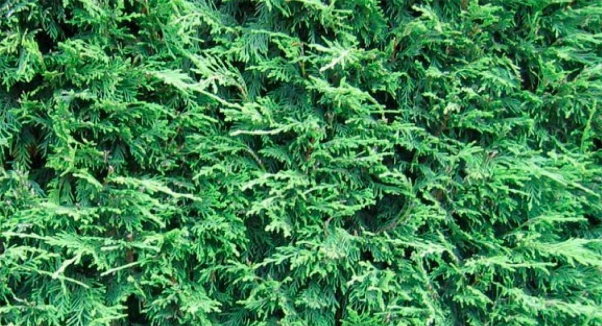GROWING PAINS: A charming three-inch 'Christmas tree' has turned into a rampaging leylandii, but the blackbirds love it