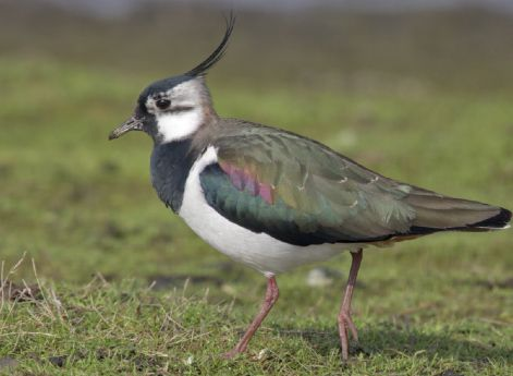 WONDER OF NATURE: Five lapwing eggs at the Docks is a wonderful sight, but Ireland's national bird, below, is being driven to the edge by our insistence on depriving it of the land it needs to thrive