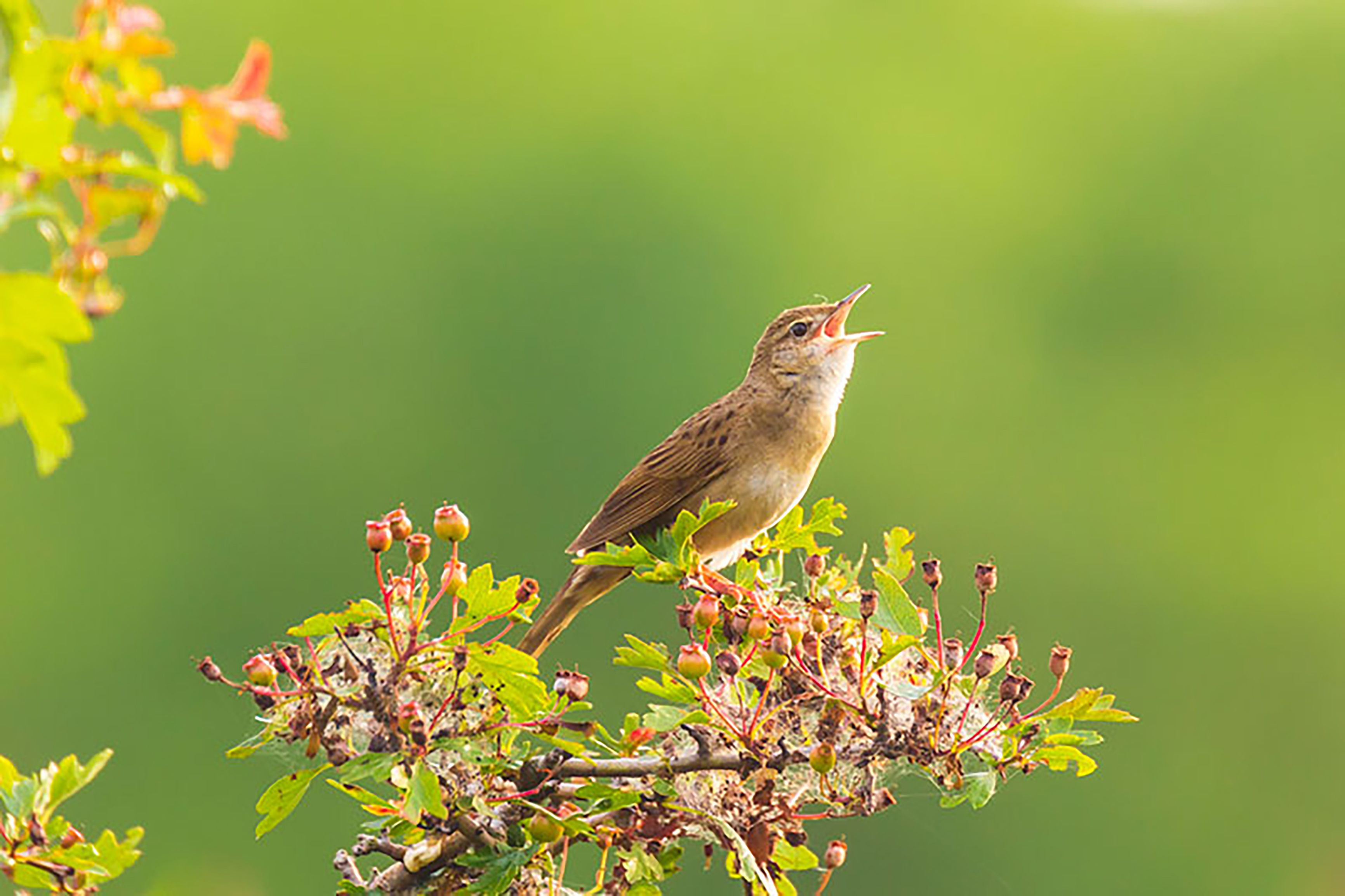 BACK FOR THE SUMMER: You only know the rare grasshopper warbler exists at dusk when it makes its incredible unique call