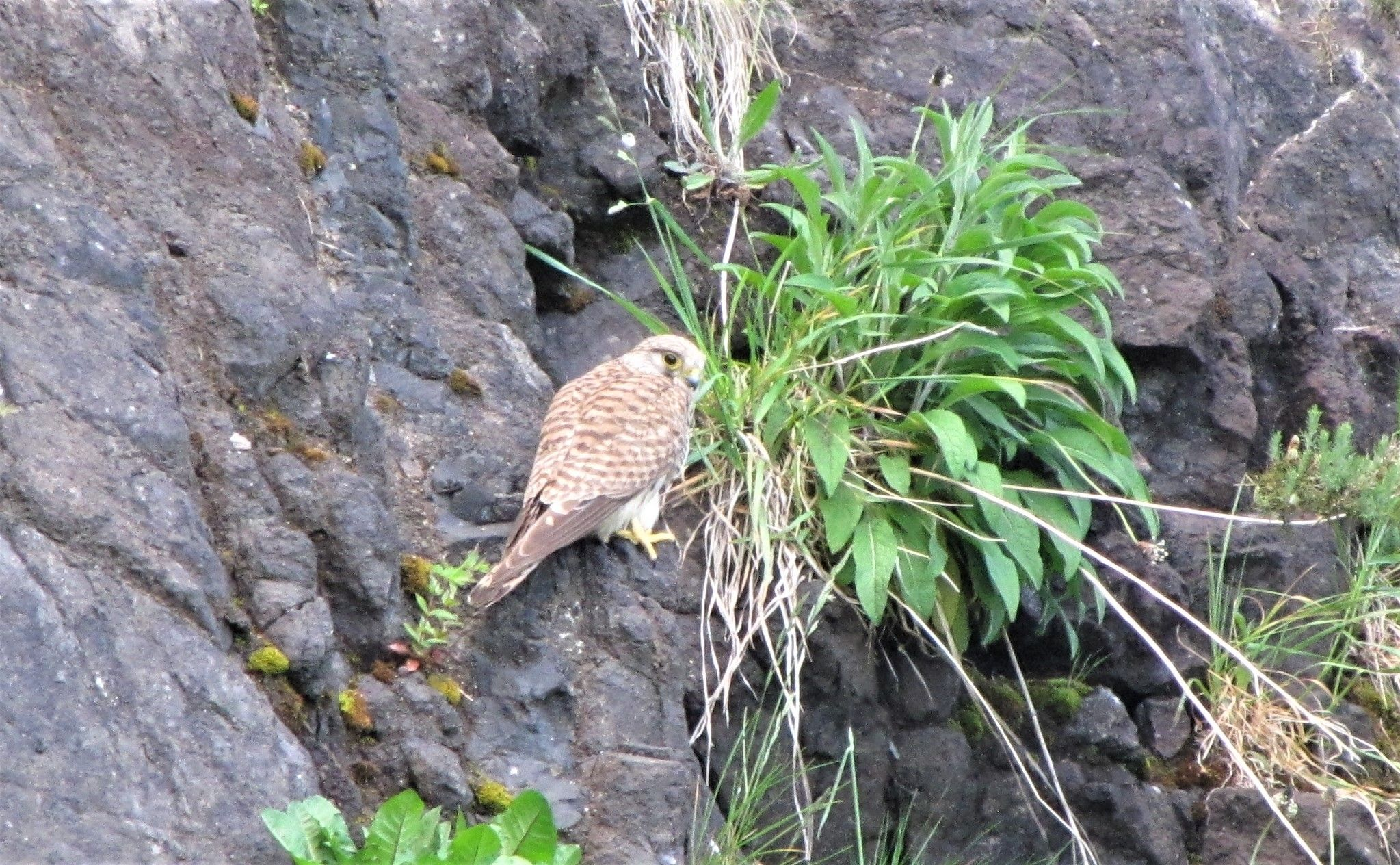 MAJESTIC: Close to a busy road, a kestrel watches everthing that's going on below and above her: meanwhile, youngsters on scramblers are disturbing bird like the snipe (below) at the old Sirocco site