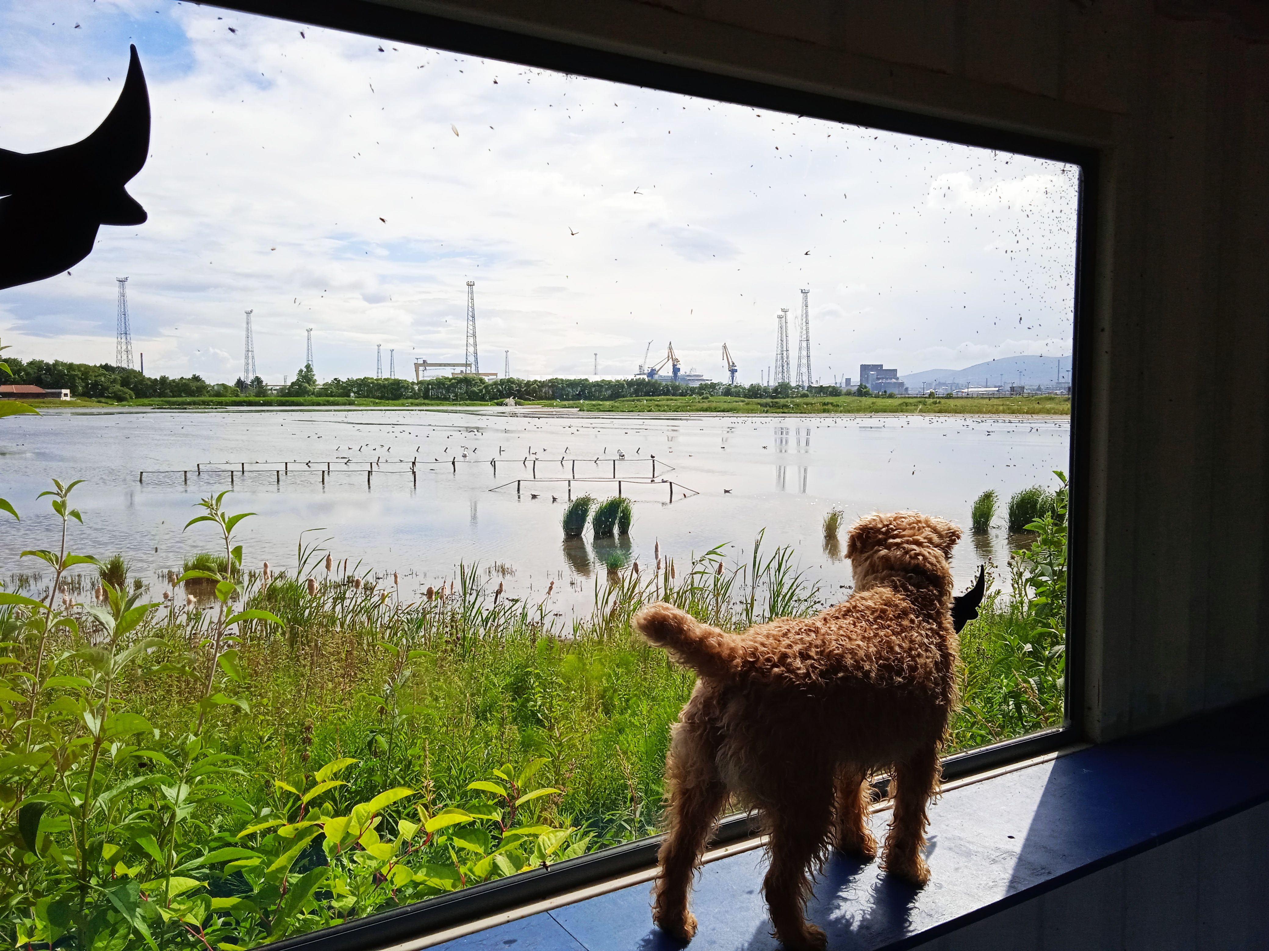 IF ONLY: From the viewing hut, Mac the terrier looks longingly at the Belfast Port nature reserve, which is well guarded to allow birds to nest and breed unbothered by intruders – animal or human