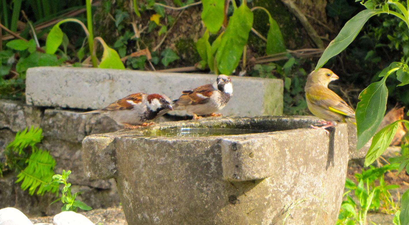 FÁILTE: Two house sparrows and a greenfinch on Dúlra's water font – the sparrow may be a common bird to most people, but Dúlra has struggled to attract them to his garden over the past ten years