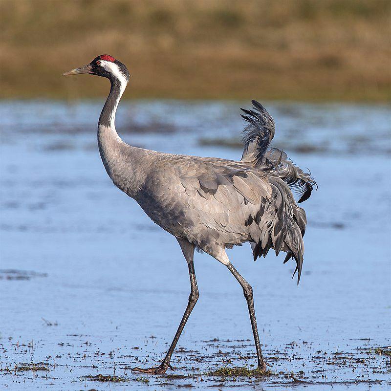 FÁILTE AR AIS: The beautiful crane