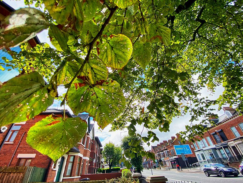 BRANCHING OUT: An elm tree on the Falls Road – a daily walk will take you past many seed sources