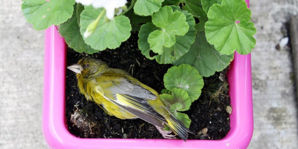 The greenfinch dead in a flowerpot