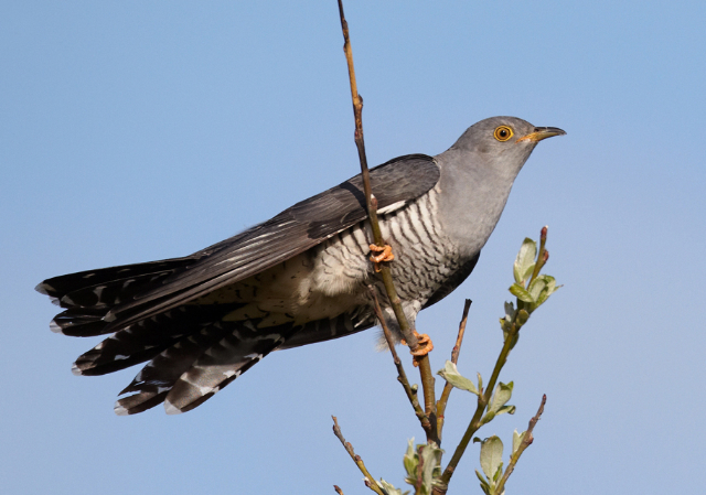 GONE?: The cuckoo has not been heard around Hannahstown for three years