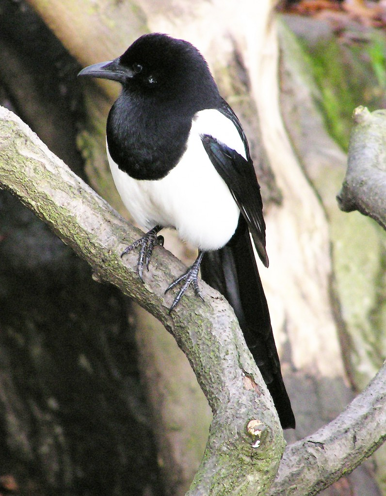 COMMON: The magpie is ever present in gardens in Belfast