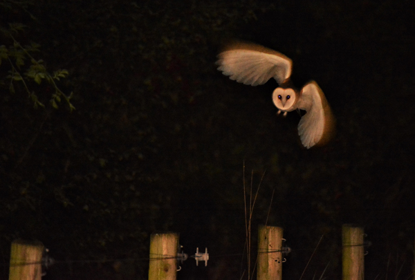 OUT OF THE DARKNESS:The elusive barn owl that was photographed by a Crumlin photographer