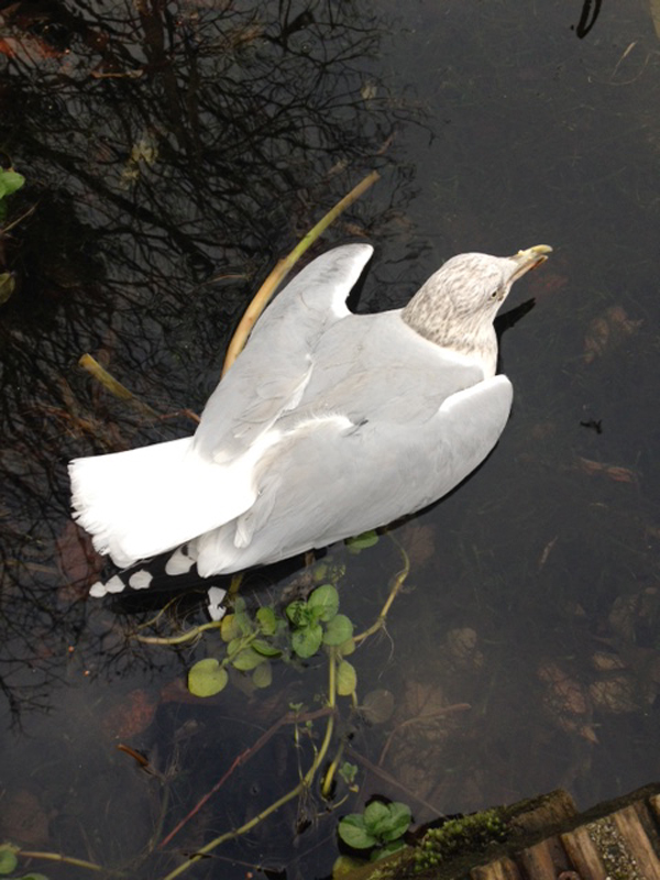 RESCUE: The gull on the Half Moon Lake