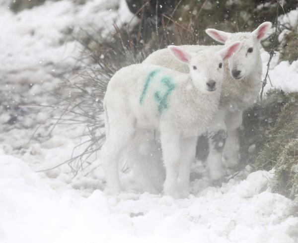 Spring lambs beside the tornagrough road