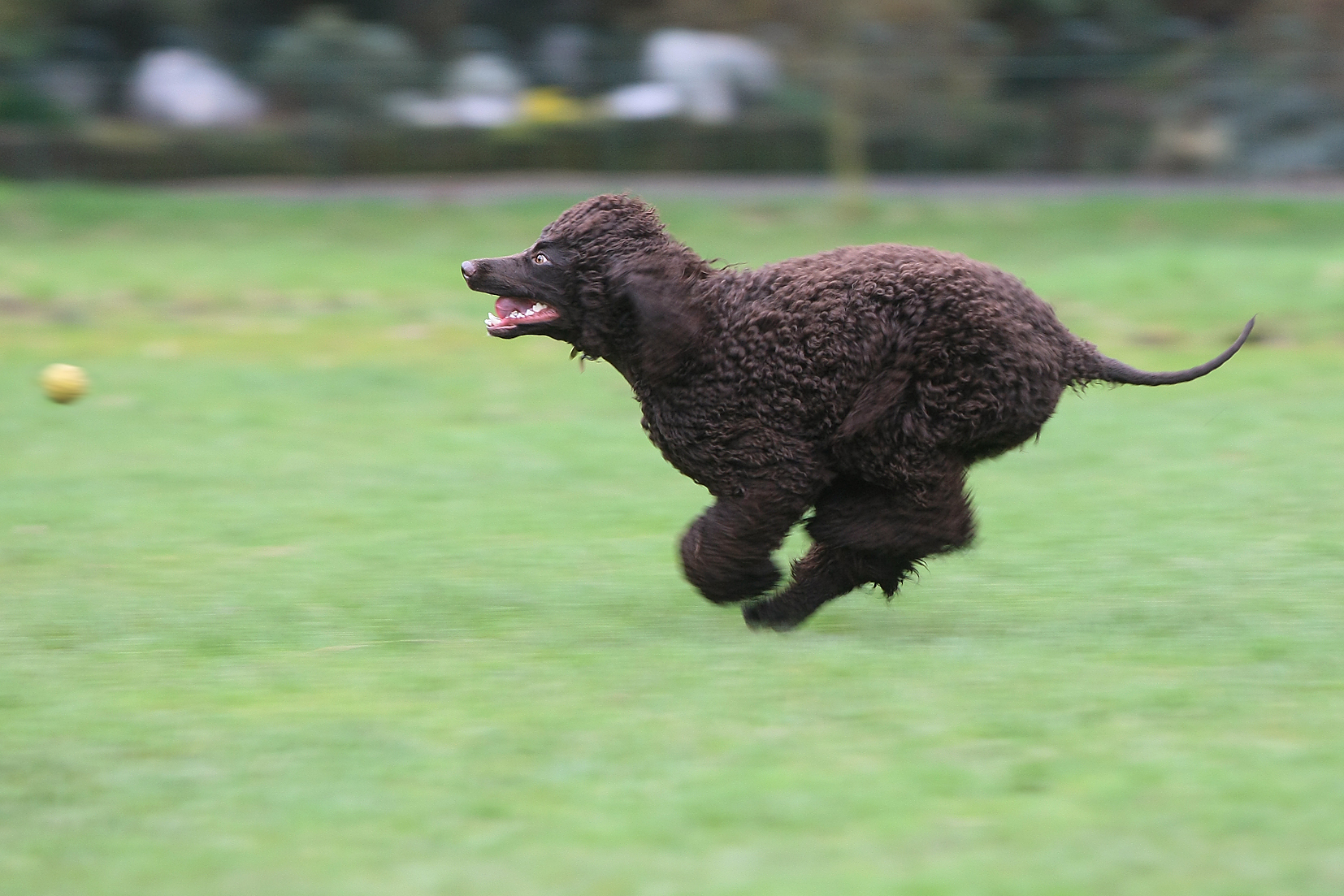 A rare and beautiful Irish water spaniel flat out in Botanic Park as the weather turned warmer this week