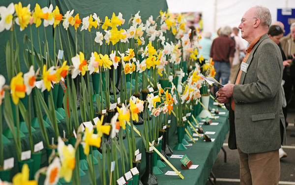 Judging the daffs at the Spring Fair Flower Show in Malone House, Barnett Demesne