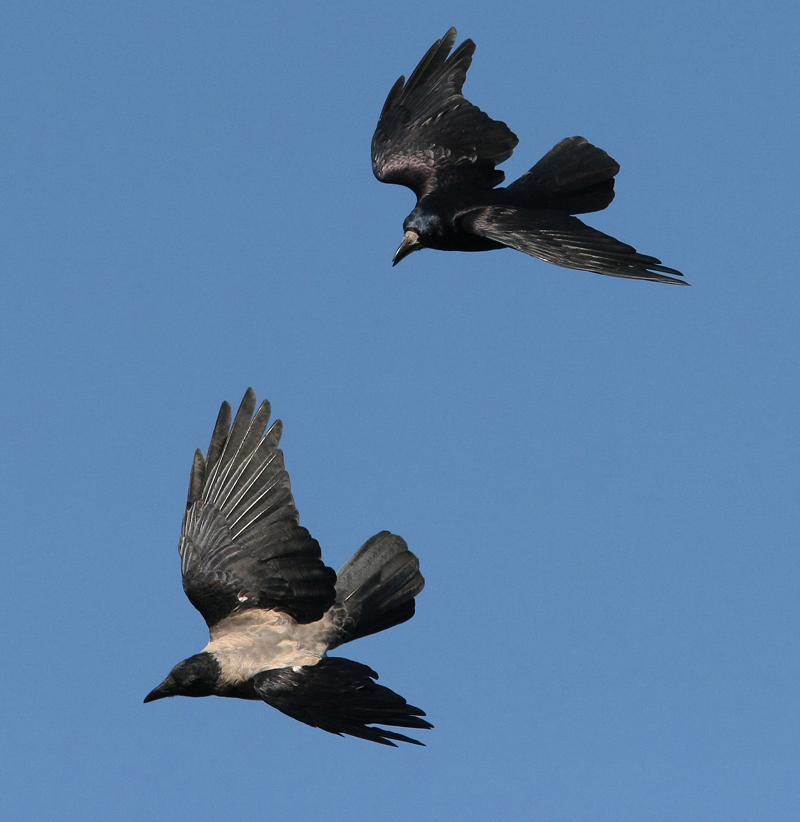 Pic of the day thurs city cemetery rooks crows 4129mj18