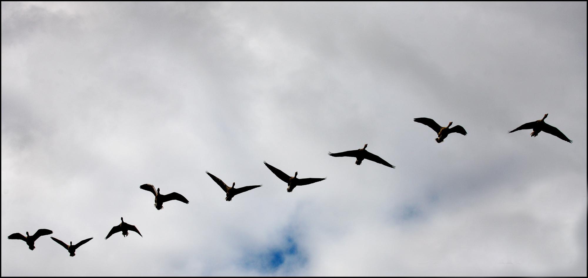 Wild geese 1 copy2
