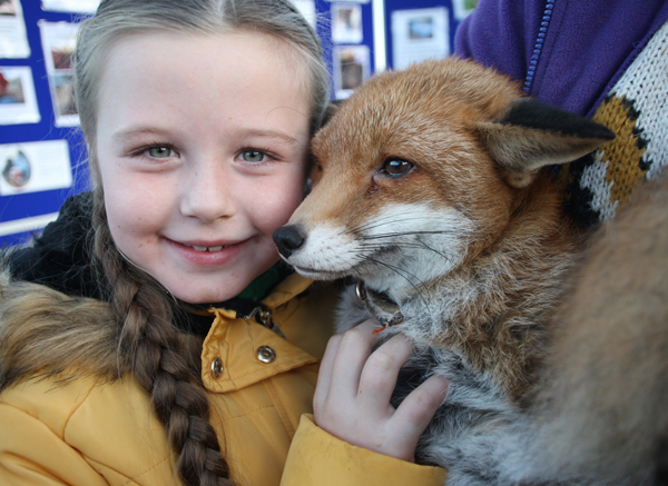Saorláith Dines makes friends with a rescued fox at Colin Allotments Autumn Discovery during Colin Neighbourhood Parents' Week