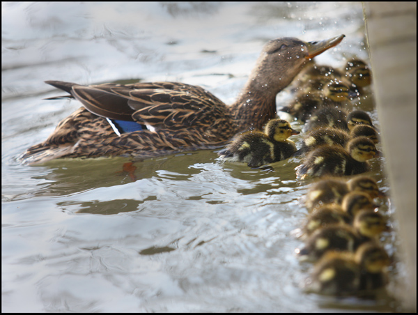 Ducklings feed from the walled pond in the Antrim Road's Waterworks