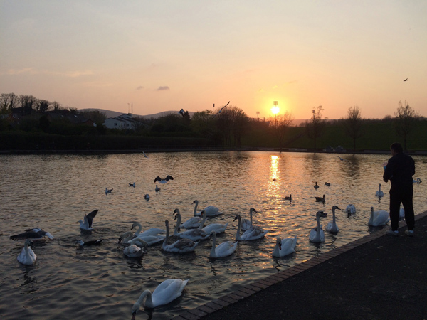 A lone figure feeds the swans as dusk descended on the Waterworks last night