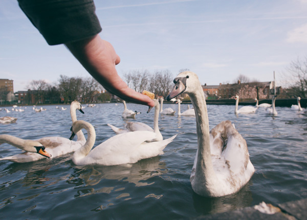 A juvenile swan takes a morsel at the Waterworks