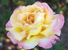 WAR MEMORIES: Peace Rose, formerly Rosa 'Madame A. Meilland'