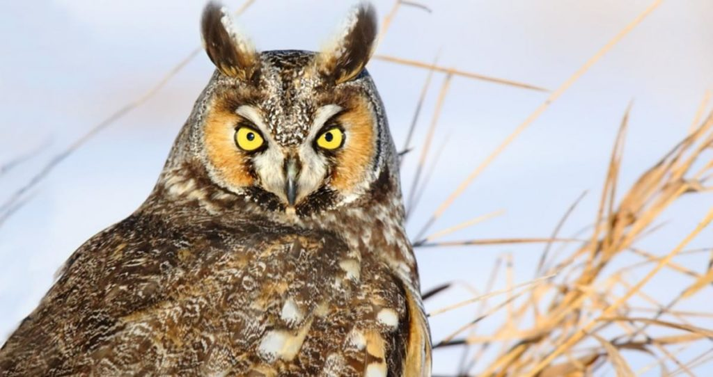 TOP OF THE TREE: The elusive long-eared owl is making a comeback